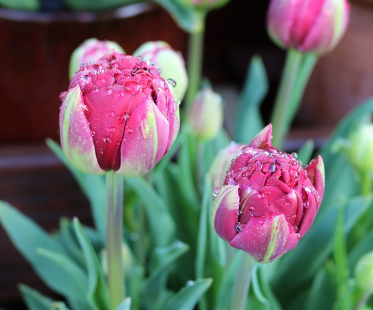 After the Rain - Tulip 'Antraciet'