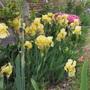 Early Yellow Bearded Iris (For CottageKaren) (Iris)
