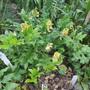 Lathyrus aureus (Lathyrus aureus)