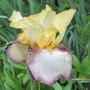 Tall Bearded Iris 19H1 (Iris)