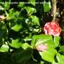 Camellia 'American Dream'