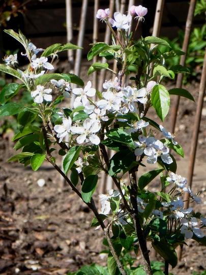 Apple Golden delicious  Patio tree