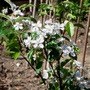 Apple_golden_delicious_patio_tree