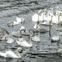 Kingston_swans_best