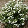 Olearia_scilloniensis