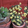 Coronilla valentina glaucus citrina (Coronilla Valentina glauca)