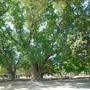 sukhothei tree 1