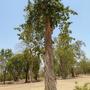 sukhothei tree 2