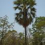 sukhothei tree 3