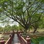 sukhothei tree 4
