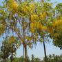 sukhothei tree 5