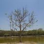 sukhothei tree 6