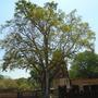 sukhothei tree 7