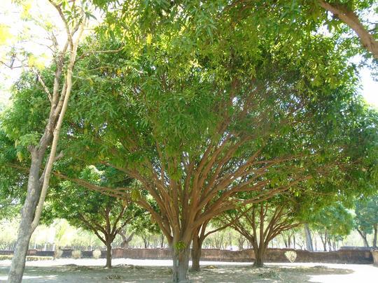 sukhothei tree 8