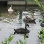 Kingston_swans