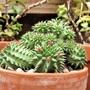 Euphorbia suzannae (flowering)