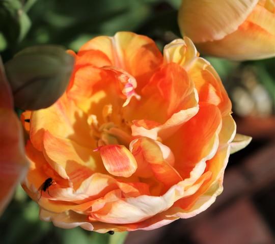 Tulip 'Charming Lady'