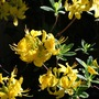 Rhododendron luteum (Common Yellow Azalea)