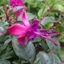 Fuchsia name unknown.