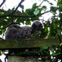 I think we have 3 baby owls
