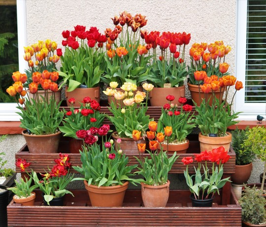 The tulips on the display shelving are all out now :)