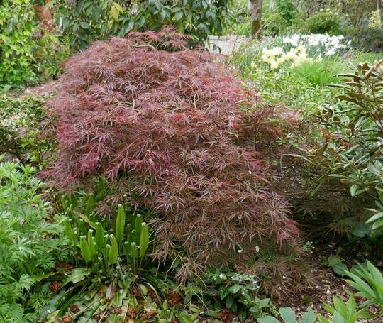 Acer palmatum disectum atropurpureum - 2019 (Acer palmatum)