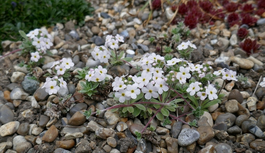Androsace sempervivoides - 2019 (Androsace sempervivoides)