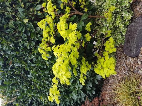 Lime green Acer palmatum