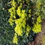 Lime green Acer palmatum
