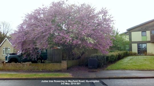 Judas tree flowering in Mayfield Road Huntingdon 3rd May 2019 001 (Cercis siliquastrum (Judas tree))