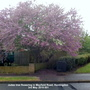 Judas tree flowering in Mayfield Road Huntingdon 3rd May 2019 001 (Cercis siliquastrum (Judas tree))