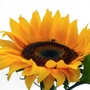 Bee on Sunflower (Helianthus annuus (Sunflower))