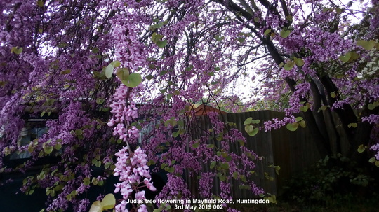 Judas tree flowering in Mayfield Road Huntingdon 3rd May 2019 002 (Cercis siliquastrum (Judas tree))