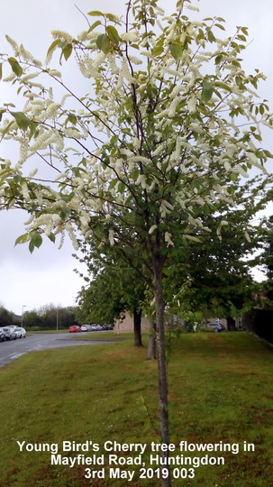 Young 'Bird Cherry' trees flowering in Mayfield Road Huntingdon 3rd May 2019 003 (Prunus padus (Bird Cherry))