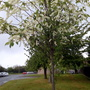 Young 'Bird Cherry' trees flowering in Mayfield Road Huntingdon 3rd May 2019 003 (Prunus padus (Bird Cherry))