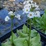 Primula_japonica_postford_white_2019