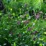 Wildflower Red Campion (Silene dioica)