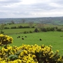Alport Heights...the cattle have their young and the Gorse is out.