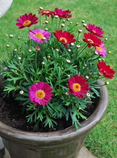 Argyranthemum..... (Argyranthemum)