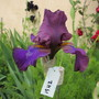 Tall Bearded Iris 19H2 (Iris)