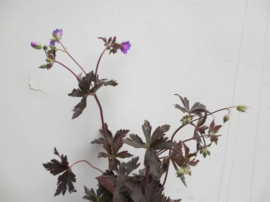 Geranium maculatum?(For my File) (Geranium maculatum?(Cranesbill))
