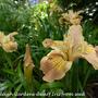 P1110862 AA 5 1 dwarf iris