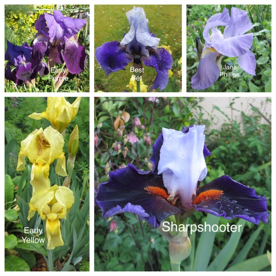 Tall Bearded Irises (Iris)