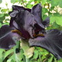 Almost Black (Iris)