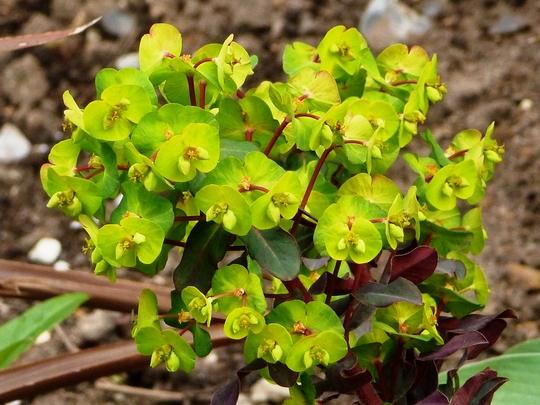 Euphorbia     Amy Purpurea