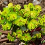 Euphorbia_amy_purpures