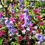 Azalea and 'Spanish' Bluebells