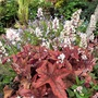 A flowering Heuchera, Sweet Tea