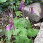 Cortusa altaica (Cortusa altaica)