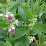 Melittis melissophyllum (Update) (Melittis melissophyllum (Bastard Balm))